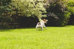 Unterhaltendes Hundespielen und anziehender Ball am sonnigen Sommerrasen Stockfotos