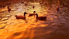 Unterhaltene Enten Stockfotos