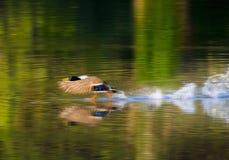 Unterhaltsamer Schuss der Stockente Duck Taking Off von einem ruhigen See Lizenzfreie Stockfotos