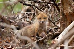 Unterholz Fox CUB Lizenzfreies Stockbild