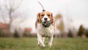 Unterrichten Ihres Hundes, Reichweite zu spielen Stockfotografie