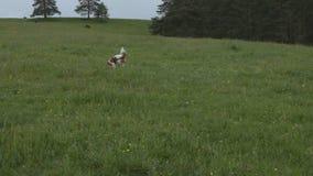 Unterrichtender Hund, zum eines Spielzeugs zu holen stock video footage