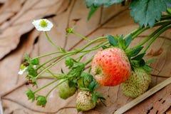 Unterscheiden Sie sich junge frische Erdbeere Stockbild