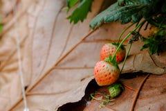 Unterscheiden Sie sich junge frische Erdbeere Stockfotos