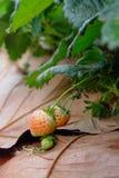 Unterscheiden Sie sich junge frische Erdbeere Lizenzfreie Stockfotos