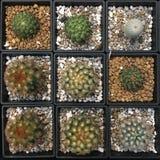 Unterschiedliche Art des Kaktus in einem schwarzen quadratischen Topf, der mit kleinem weißem Braun und schwarzem Stein verzierte lizenzfreie stockfotos
