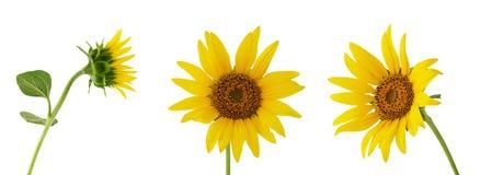 Unterschiedliche Blume der Sonnenblume drei auf dem Stamm lokalisiert auf weißem Hintergrund lizenzfreie stockfotografie