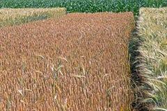 Unterschiedliche Vielzahl des Weizens Lizenzfreie Stockfotos