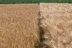 Unterschiedliche Vielzahl des Weizens Stockfoto