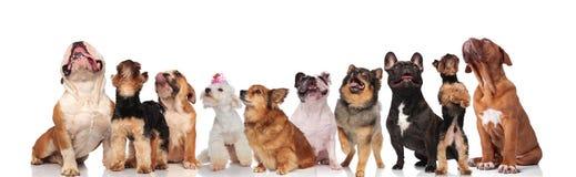 Unterschiedliche Zucht von den neugierigen oben schauenden und keuchenden Hunden stockbild