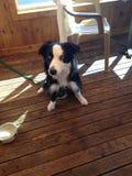 Unterschiedlicher farbiger Augenhund Stockbild