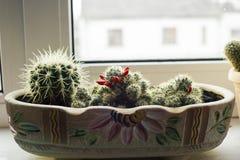 Unterschiedliches Ð-¡ actus wachsen im Blumentopf Stockfotografie