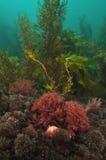 Unterseeische Vegetation im seichten Wasser Stockbild