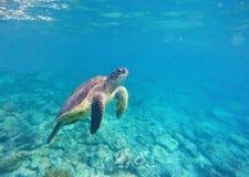 Unterseeisches Foto der grünen Meeresschildkröte Stockbild