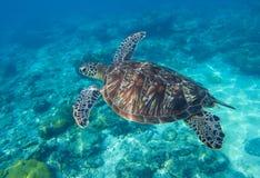 Unterseeisches Foto der Meeresschildkrötenahaufnahme Suppenschildkröte im Meerwasser Stockfoto
