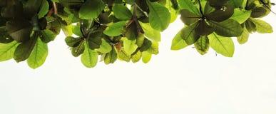 Unterseite herauf Ansicht des grünen Blattes Lizenzfreies Stockbild