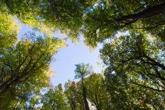 Unterseite herauf Bäume im Spätsommerwald Stockbild