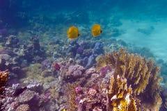 Unterseite von tropischem Meer mit Korallenriff und Paare von gelben Butterflyfishes auf Hintergrund des blauen Wassers Stockfotos