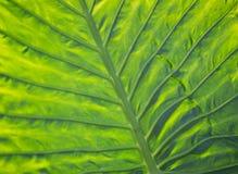 Unterseitenansicht des grünen Blattes Stockfoto