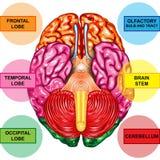 Unterseitenansicht des menschlichen Gehirns Lizenzfreies Stockbild