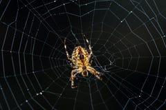 Unterseitennahaufnahme einer Kürbisspinne marmorte Kugelweber auf einem Netz mit einem dunklen Hintergrund stockfotos