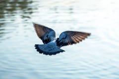 Unterstützen Sie einen grauen Taubenvogel, der über Fluss fliegt Lizenzfreie Stockbilder