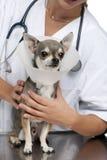 Untersuchen Sie das Anhalten Chihuahua, die einen Platzkragen tragen stockbilder