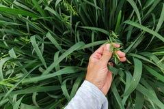 Untersuchungshafer des Landwirts taucht auf dem Gebiet, Abschluss der Hand auf stockfoto