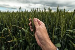Untersuchungsohr des Landwirts des Weizens lizenzfreie stockbilder