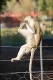 Untersuchungszehen des Affen Stockbilder