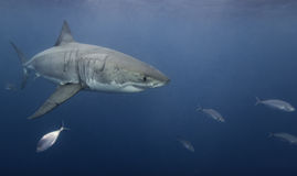 Unterwasser- Ansicht von ein Neptun-Inseln Süd-Australien des Weißen Hais Lizenzfreies Stockfoto