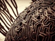 Unterwasser-Brain Coral Stockbild