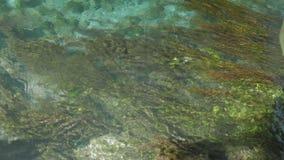 Unterwasseransicht des bunten Seegrass und der Masse, 4k stock video