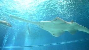 Unterwasseransicht des Meeresflora und -fauna sah vom Sawfish in Genoa Aquarium Lizenzfreie Stockfotos