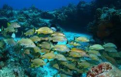 Unterwasseratemgerät-Taucher und Schule der Fische - Cozumel Mexiko Lizenzfreie Stockfotos