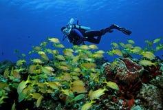 Unterwasseratemgerät-Taucher und Schule des französischen Grunzens Lizenzfreie Stockfotos
