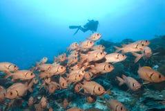Unterwasseratemgerättaucher und rote Fische Stockfotos