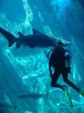 Unterwasseratemgerättaucher und -haifisch Stockfoto