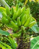 Unterwasserbanane mit grünen Bananen Stockfoto