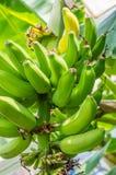 Unterwasserbanane mit grünen Bananen Lizenzfreies Stockfoto