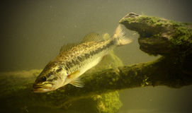 Unterwasserbass-Fische Lizenzfreie Stockfotografie