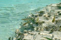 Unterwasserbild der Forellefische Lizenzfreies Stockbild