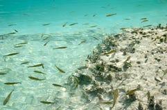 Unterwasserbild der Forellefische Stockbild