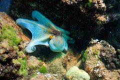 Unterwasserbild - Krake Lizenzfreie Stockfotos