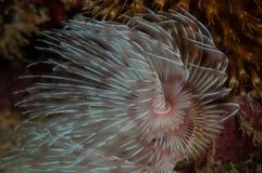 Unterwasserfotospezies in Gorontalo, Indonesien Lizenzfreies Stockfoto