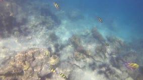 Unterwassergesamtlänge 4K von Fischen und von Bengel durch Korallenriff in Andaman-Meer stock video