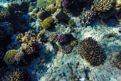 Unterwasserkorallenriff des Roten Meers Stockfotos