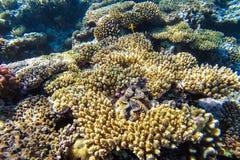 Unterwasserkorallenriff des Roten Meers Stockfoto
