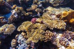 Unterwasserkorallenriff des Roten Meers Stockfotografie