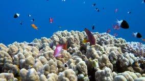 Unterwasserkorallenriff mit tropischen Fischen im Ozean stock video